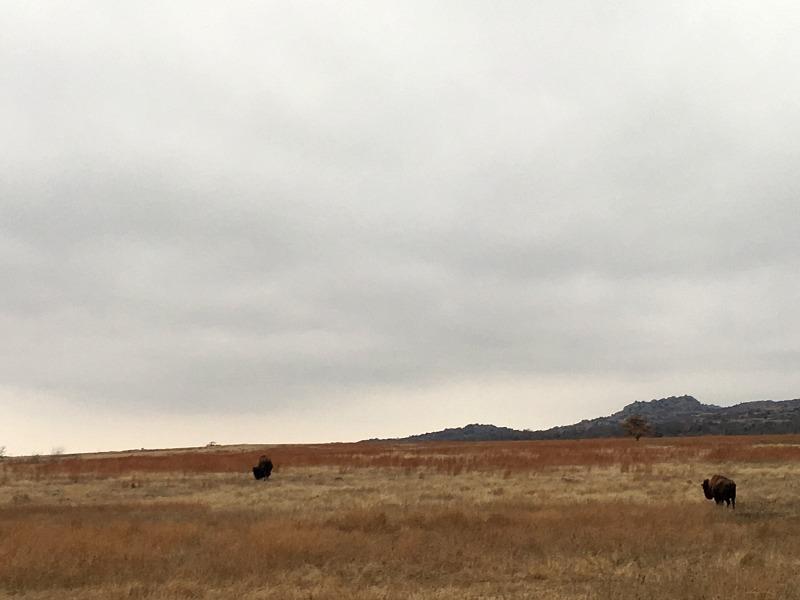 Bison Wichita Wildlife Refuge