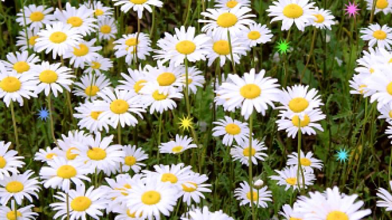 daisiesstars