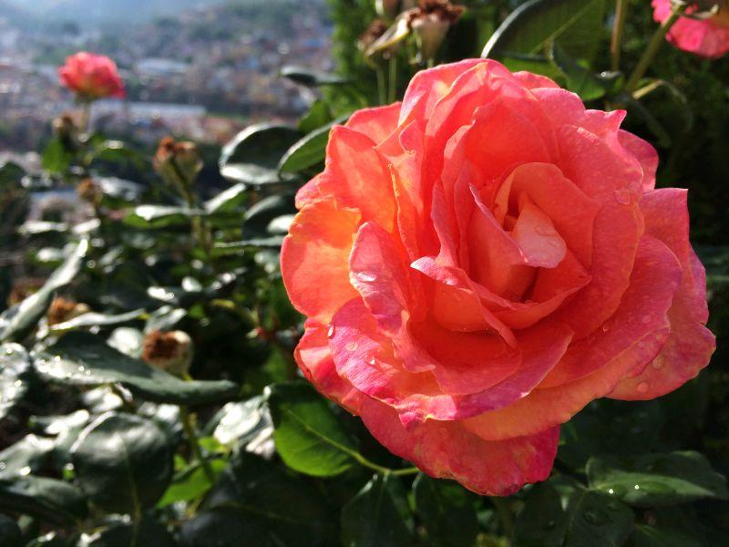 Coral-Rose.jpg