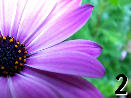 Purple daisy flower - Free Reading Pick a flower by Melanie the Medium