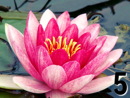 water lily - Free Reading Pick a flower by Melanie the Medium